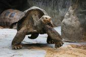 Aldabra giant tortoise (Aldabrachelys gigantea) — Stock Photo