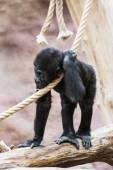 Young Western lowland gorilla — Stock Photo