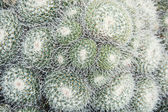 Mammillaria geminispina — Stock Photo