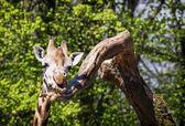キリンの肖像画 — ストック写真