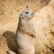 Groundhog is standing by the pit and watching surroundings — Stock Photo #60027025