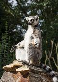 One Ring-tailed lemur (Lemur catta) is heated — Stock Photo