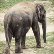 Asian elephant (Elephas maximus) — Stock Photo #60635243