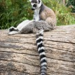 Ring-tailed lemur sitting on the tree trunk — Stok fotoğraf #60635267