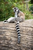 Ring-tailed lemur sitting on the tree trunk — Stock Photo