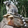 Watchful Ring-tailed lemur sitting on the tree trunk — Stok fotoğraf #62135173