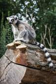 Watchful Ring-tailed lemur sitting on the tree trunk — Stock Photo