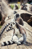 Humorous Ring-tailed lemur (Lemur catta) — Stock Photo