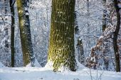 Deciduous trees in a snowy forest — Fotografia Stock