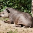 South American tapir (Tapirus terrestris) — Stock Photo #64572607