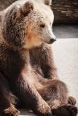 Brown bear (Ursus arctos arctos) sitting on the ground — Stock Photo