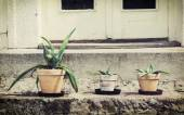 Three various succulent plants in flower pots — Stock Photo