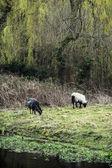 Two sheep grazing in the english countryside — Foto de Stock