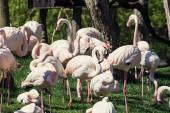 Group of Greater flamingos (Phoenicopterus ruber roseus) in outd — Stock Photo