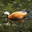 Ruddy shelduck (Tadorna ferruginea) — Stock Photo #71399667