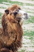 Bactrian camel portrait — Stock Photo