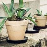 Three succulent plants in flower pots — Stock Photo #75610665