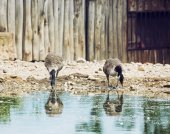 Two beautiful geese with reflection in water — Stock Photo