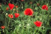 Red corn poppy (Papaver rhoeas) — Stock Photo