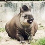 South American tapir (Tapirus terrestris) — Stock Photo #79893508
