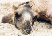Bactrian camel lying and relaxing in the sand by summer — Stock Photo