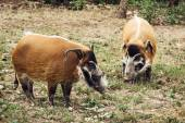 Red river hog (Potamochoerus porcus) — Stock Photo