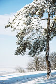 Snowy conifer tree — Stock Photo