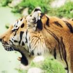 Постер, плакат: Siberian tiger Panthera tigris altaica