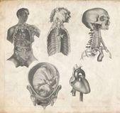 Anatomical — Stock Photo