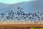 Common cranes — Stock Photo