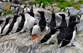 Atlantic Puffin and a group of Razorbills — Stock Photo