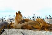 South American fur seal — Stock Photo
