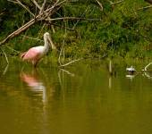Roseate spoonbill — Stock Photo