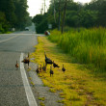 Wild turkey family — Stock Photo #61452771