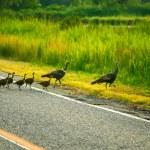 Wild turkey family — Stock Photo #61452805