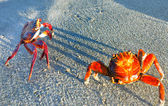 Sally Lightfoot Crabs — Stock Photo