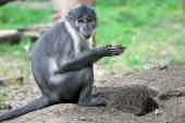 Sooty mangabey with a clod of earth — Stock Photo