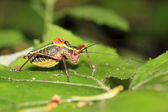 Colorful cricket on a leaf — Stock Photo