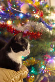 Black and white cat ahead a christmas pine tree — Stock Photo