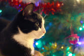 Black and white cat ahead a christmas pine tree — Stockfoto
