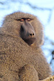 Portrait of adult olive baboon — Stock Photo
