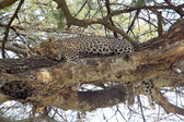 Leopard resting on a tree — Stock Photo