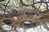 Leopard grooming on a tree — Stock Photo