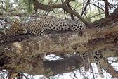 Leopard sleeping on a tree — Stock Photo