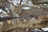 Young leopard on a tree — Stock Photo