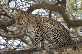Young leopard sitting on a branch — Stock Photo