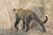 Leopard crossing a road — Stock Photo