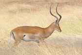 Male impala in the grass — Stock Photo