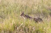 Serval wildcat in savannah of Serengeti Tanzania — Stock Photo
