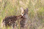 Serval wildcat in savannah of Serengeti Tanzania — Stock Photo